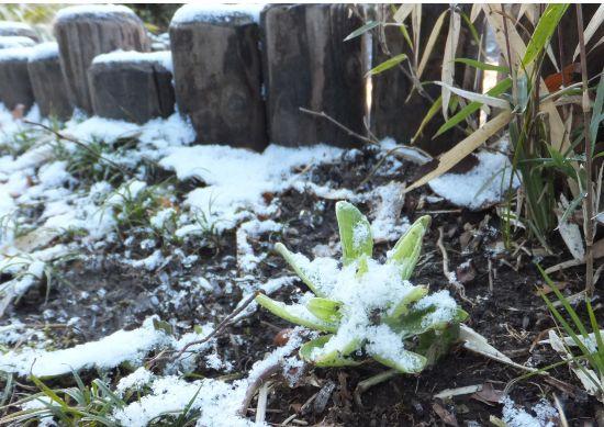 雪をかぶったフキノトウ