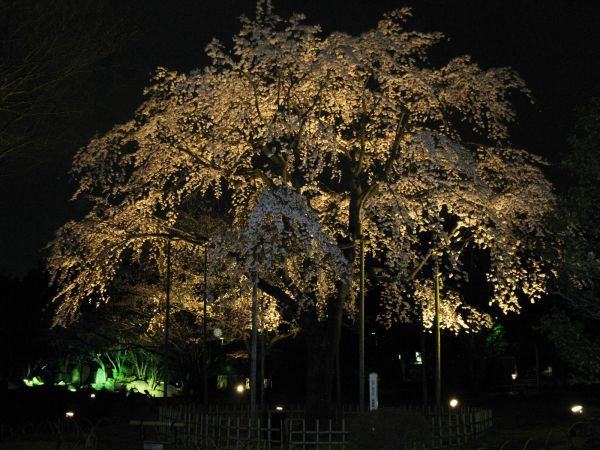 画像 行船公園のしだれ桜