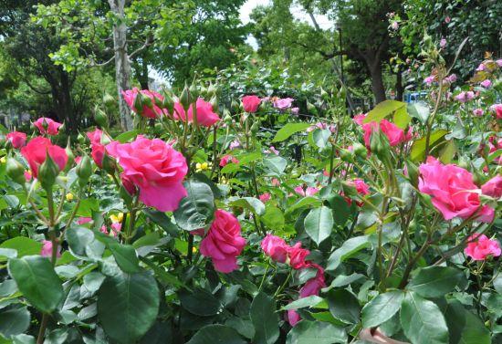 宇喜田東公園のバラ