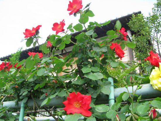 鹿骨花公園の蔓バラ
