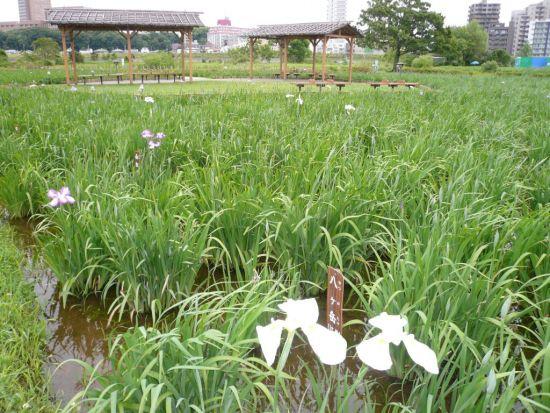 6月6日の小岩菖蒲園