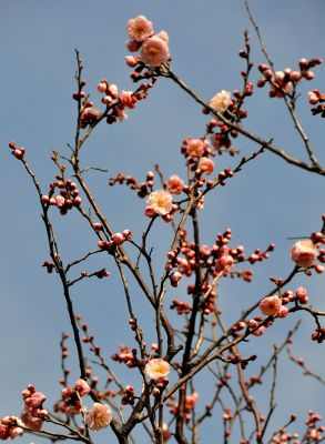 八重の梅の木