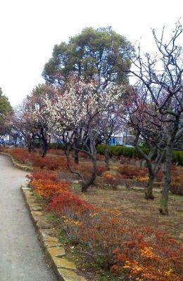 宇喜田東公園の梅の木