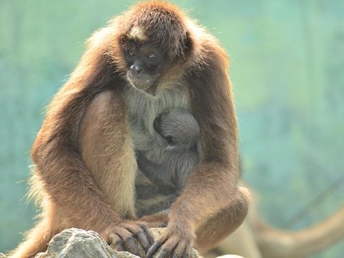 ケナガクモザルの赤ちゃん