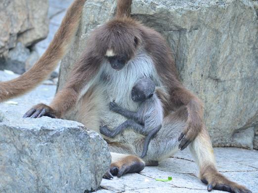 ケナガクモザルの赤ちゃん2