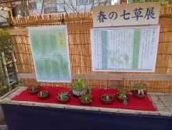 春の七草 展示1