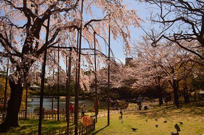 平成庭園桜