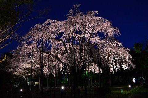 枝垂桜のライトアップ