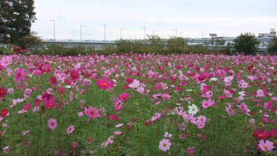 今年のコスモスは濃い色の花が多いです