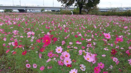 今年のコスモスは背丈が低めですが、キレイに咲いています