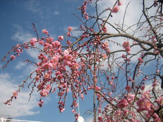 宿なかよし公園枝垂れウメ開花間近