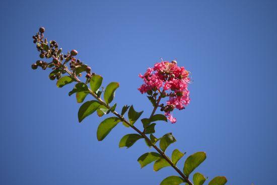 サルスベリ開花