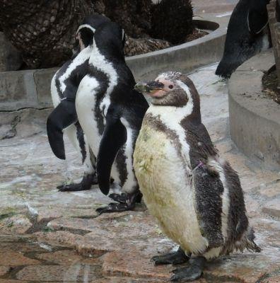 換羽後のペンギン