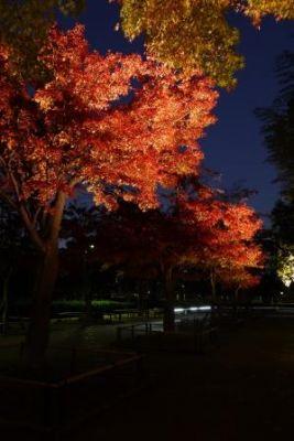 行船公園紅葉夜景モミジ並木3