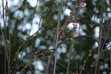 シダレウメ開花