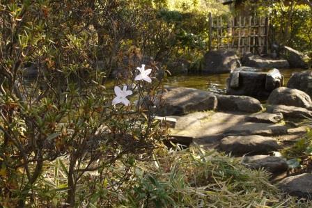 ヒラドツツジ開花1