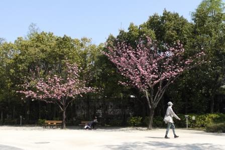 フゲンゾウ樹形