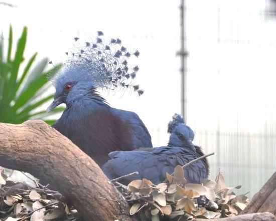 オウギバトの巣立ち