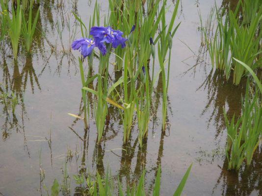 菖蒲の一番花