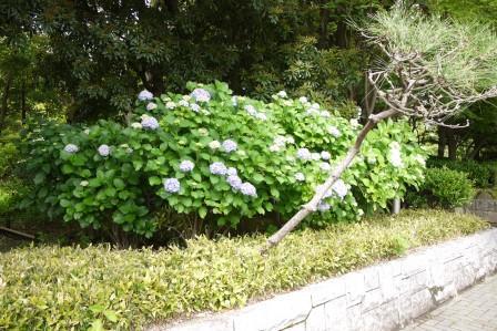 アジサイ樹形