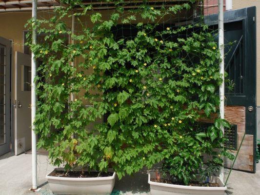 グリーンカーテン1