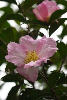 サザンカ開花