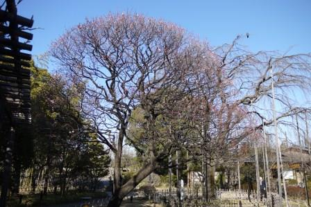 オモイノママ樹形