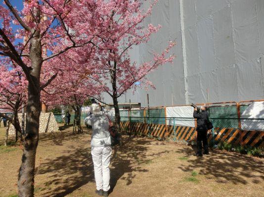 旧中川河津桜