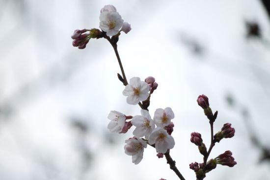 ソメイ開花