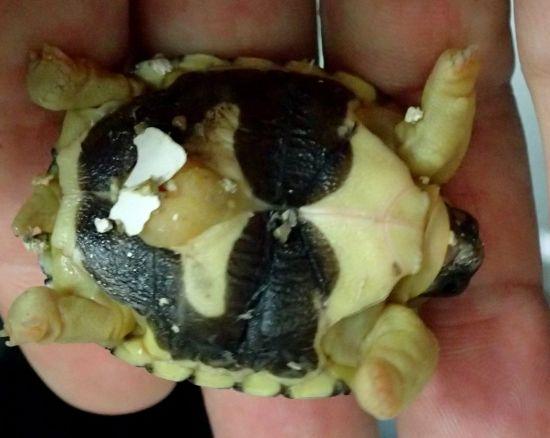 ホウシャガメ卵黄1
