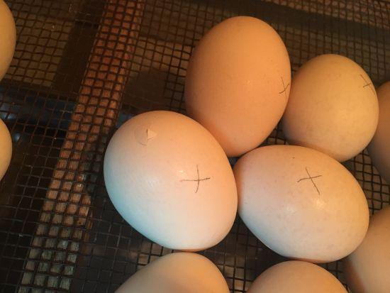 ウコッケイの卵