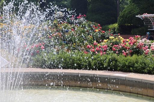 バラと噴水