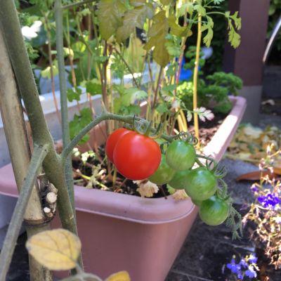 実ったトマト