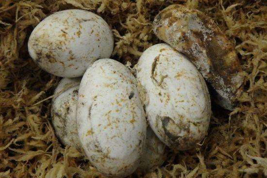 アオダイショウの卵
